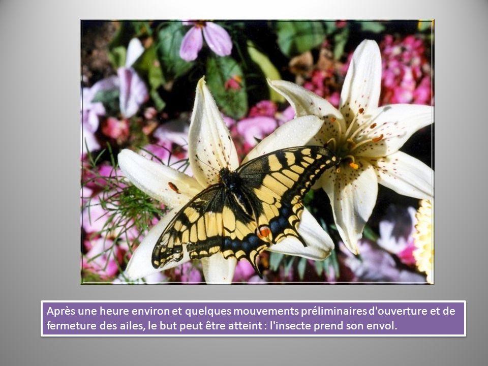 Après une heure environ et quelques mouvements préliminaires d ouverture et de fermeture des ailes, le but peut être atteint : l insecte prend son envol.
