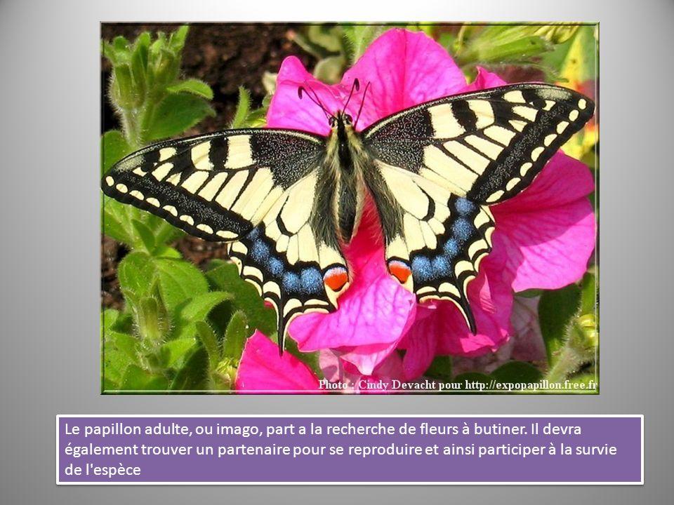 Le papillon adulte, ou imago, part a la recherche de fleurs à butiner
