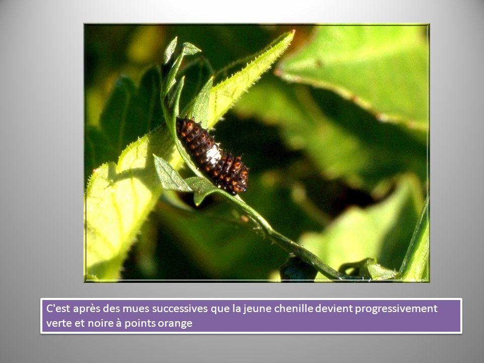 C est après des mues successives que la jeune chenille devient progressivement verte et noire à points orange