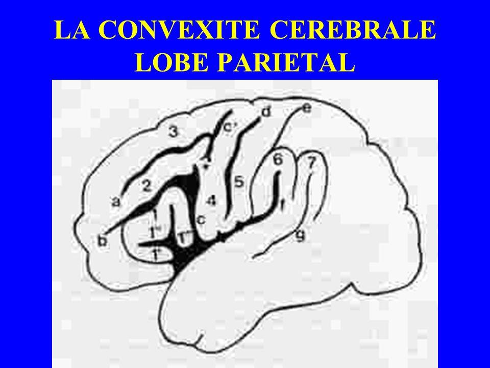 LA CONVEXITE CEREBRALE LOBE PARIETAL