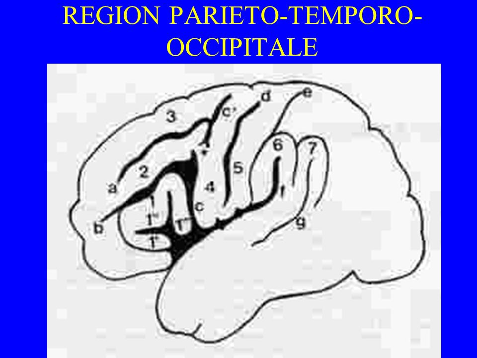 REGION PARIETO-TEMPORO-OCCIPITALE