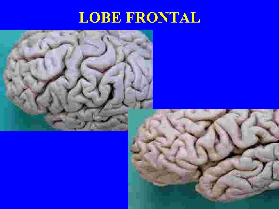 LOBE FRONTAL GYRUS FRONTAL SUPERIEUR MOYEN ET INFERIEUR