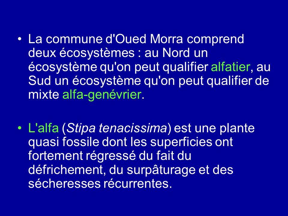 La commune d Oued Morra comprend deux écosystèmes : au Nord un écosystème qu on peut qualifier alfatier, au Sud un écosystème qu on peut qualifier de mixte alfa-genévrier.