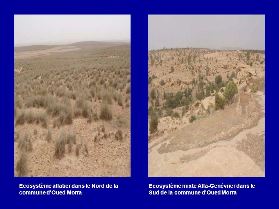 Ecosystème alfatier dans le Nord de la commune d Oued Morra
