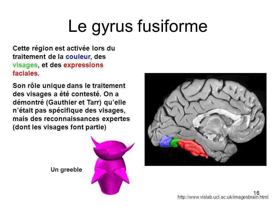 Le gyrus fusiforme Cette région est activée lors du traitement de la couleur, des visages, et des expressions faciales.