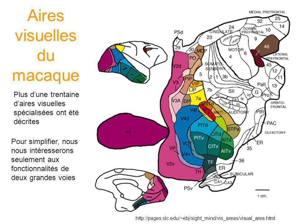 Aires visuelles du macaque