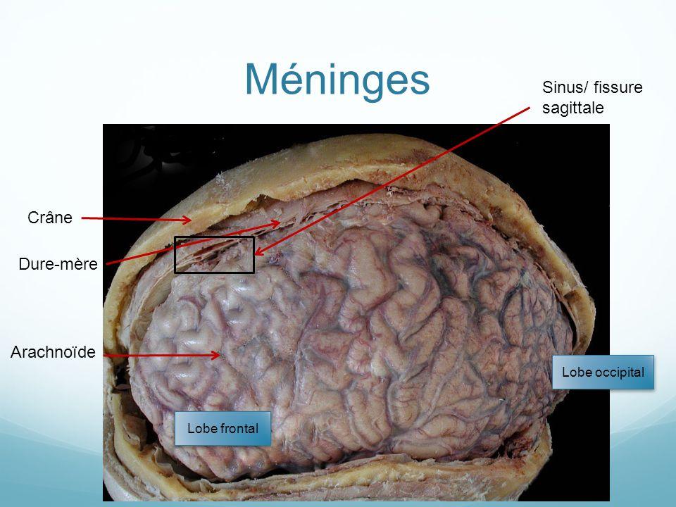 Méninges Sinus/ fissure sagittale Crâne Dure-mère Arachnoïde