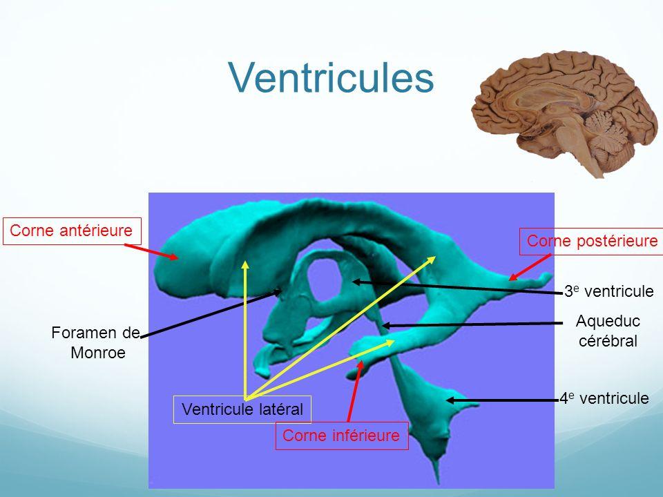 Ventricules Corne antérieure Corne postérieure 3e ventricule Aqueduc