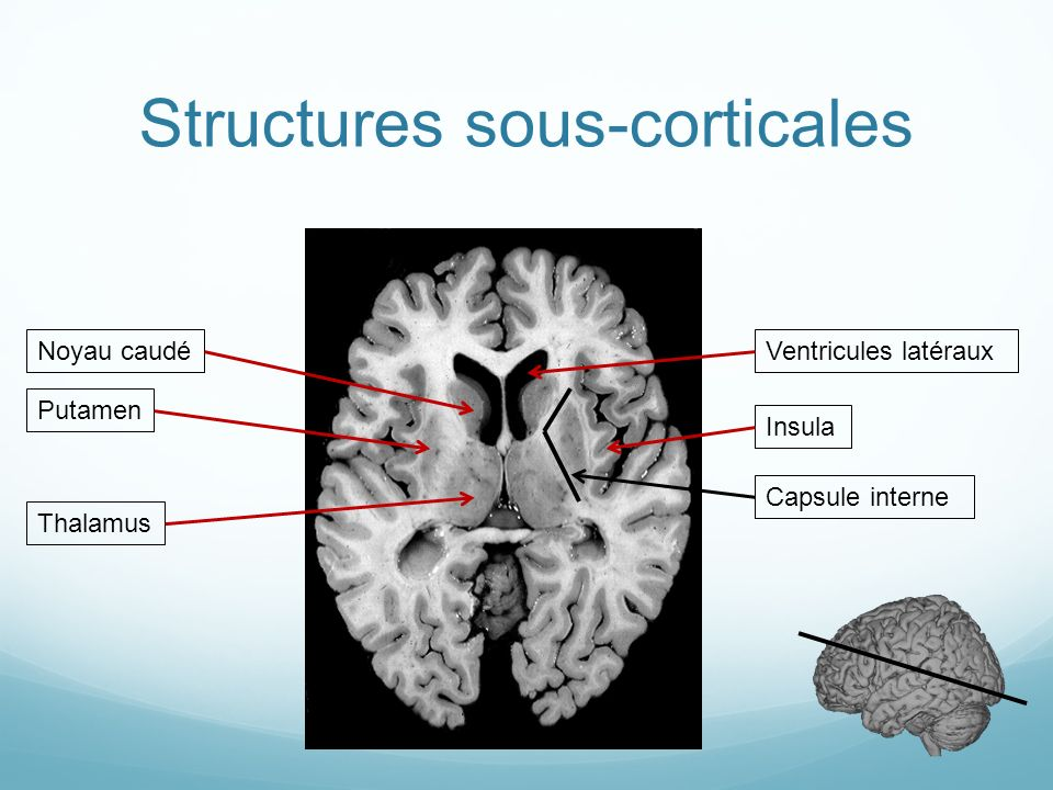 Structures sous-corticales
