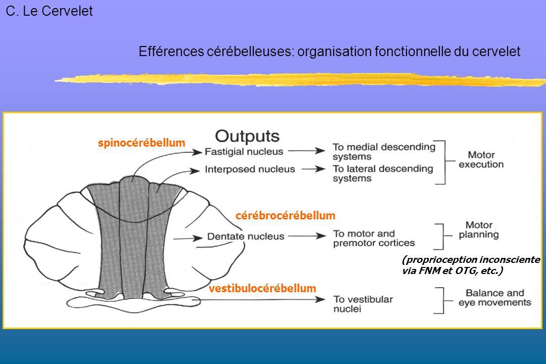 Efférences cérébelleuses: organisation fonctionnelle du cervelet