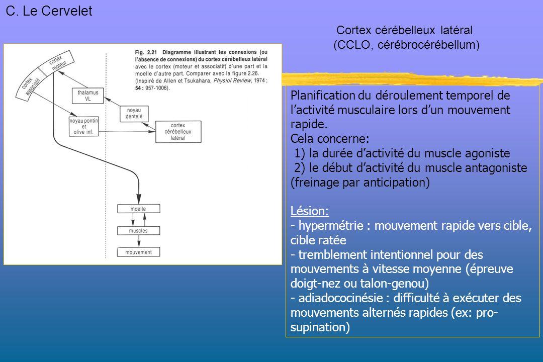 C. Le Cervelet Cortex cérébelleux latéral (CCLO, cérébrocérébellum)