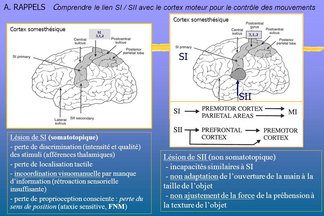 A. RAPPELS Comprendre le lien SI / SII avec le cortex moteur pour le contrôle des mouvements