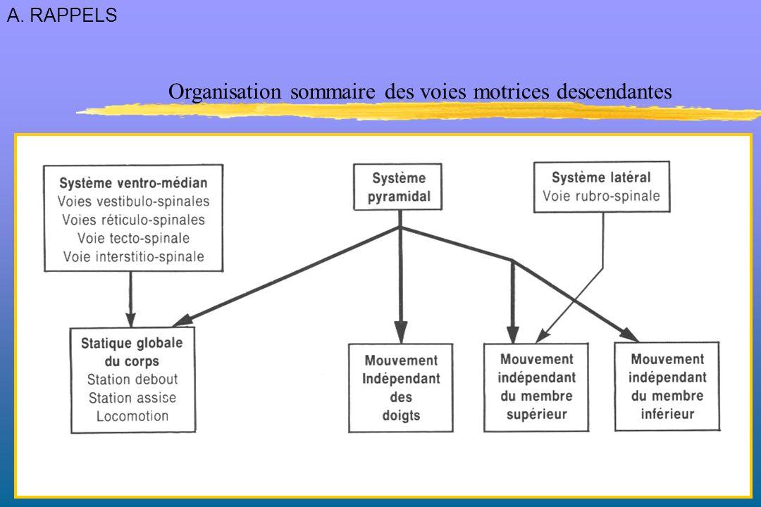 Organisation sommaire des voies motrices descendantes