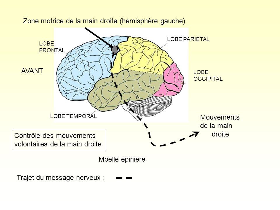 Zone motrice de la main droite (hémisphère gauche)