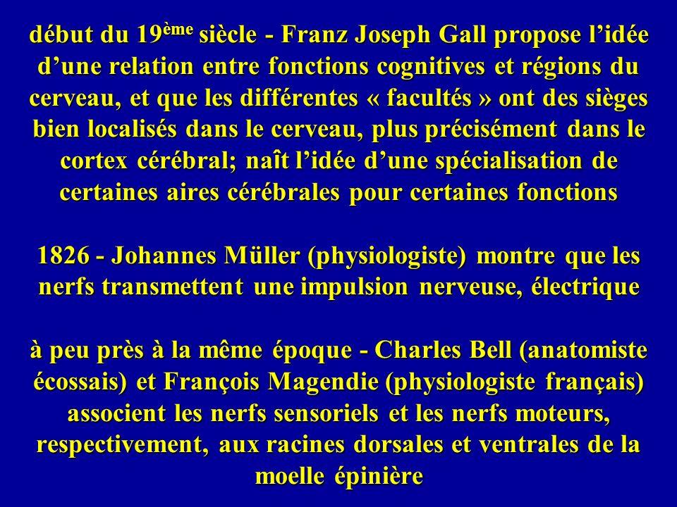 début du 19ème siècle - Franz Joseph Gall propose l'idée d'une relation entre fonctions cognitives et régions du cerveau, et que les différentes « facultés » ont des sièges bien localisés dans le cerveau, plus précisément dans le cortex cérébral; naît l'idée d'une spécialisation de certaines aires cérébrales pour certaines fonctions 1826 - Johannes Müller (physiologiste) montre que les nerfs transmettent une impulsion nerveuse, électrique à peu près à la même époque - Charles Bell (anatomiste écossais) et François Magendie (physiologiste français) associent les nerfs sensoriels et les nerfs moteurs, respectivement, aux racines dorsales et ventrales de la moelle épinière