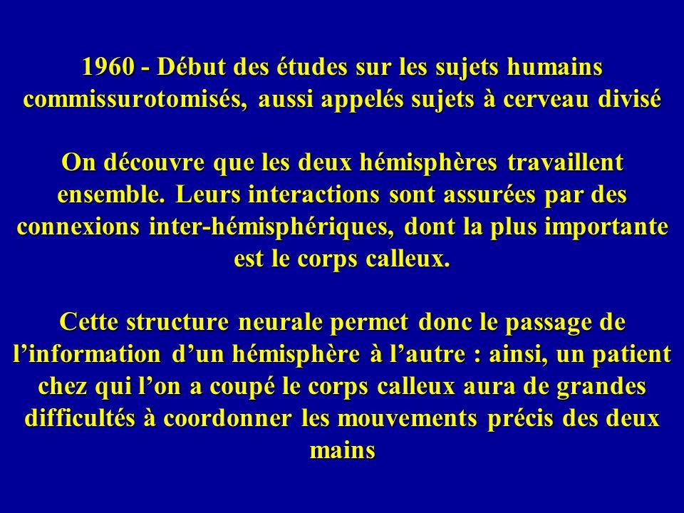 1960 - Début des études sur les sujets humains commissurotomisés, aussi appelés sujets à cerveau divisé On découvre que les deux hémisphères travaillent ensemble.