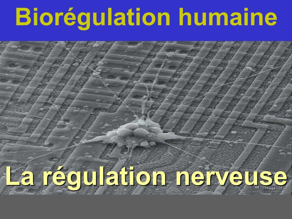 Biorégulation humaine La régulation nerveuse