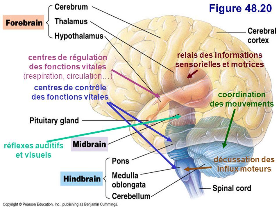 Figure 48.20 relais des informations sensorielles et motrices