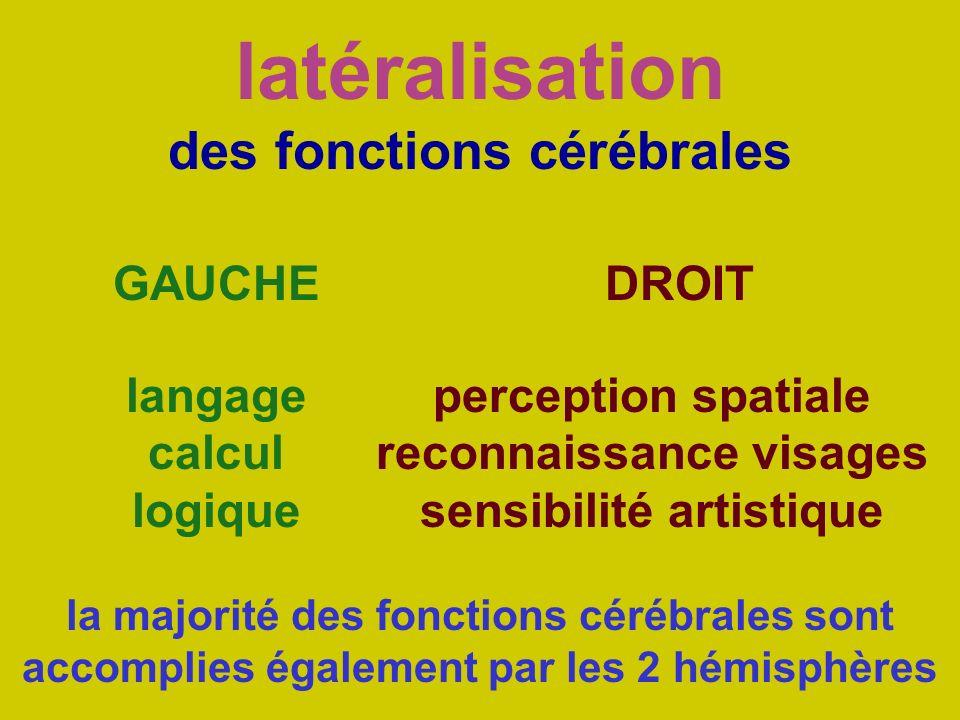 latéralisation des fonctions cérébrales
