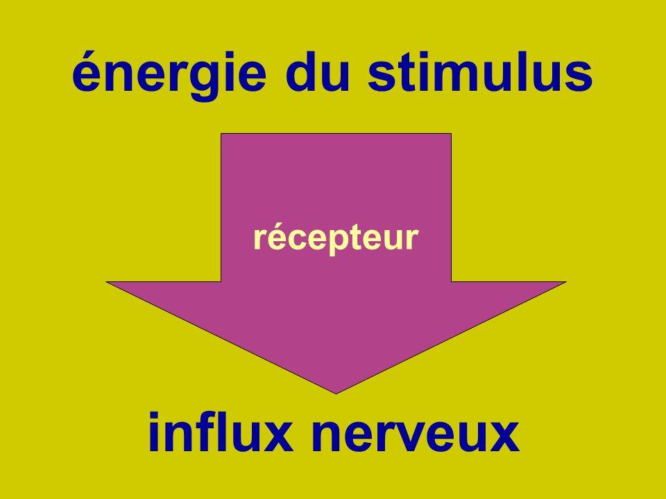 énergie du stimulus influx nerveux