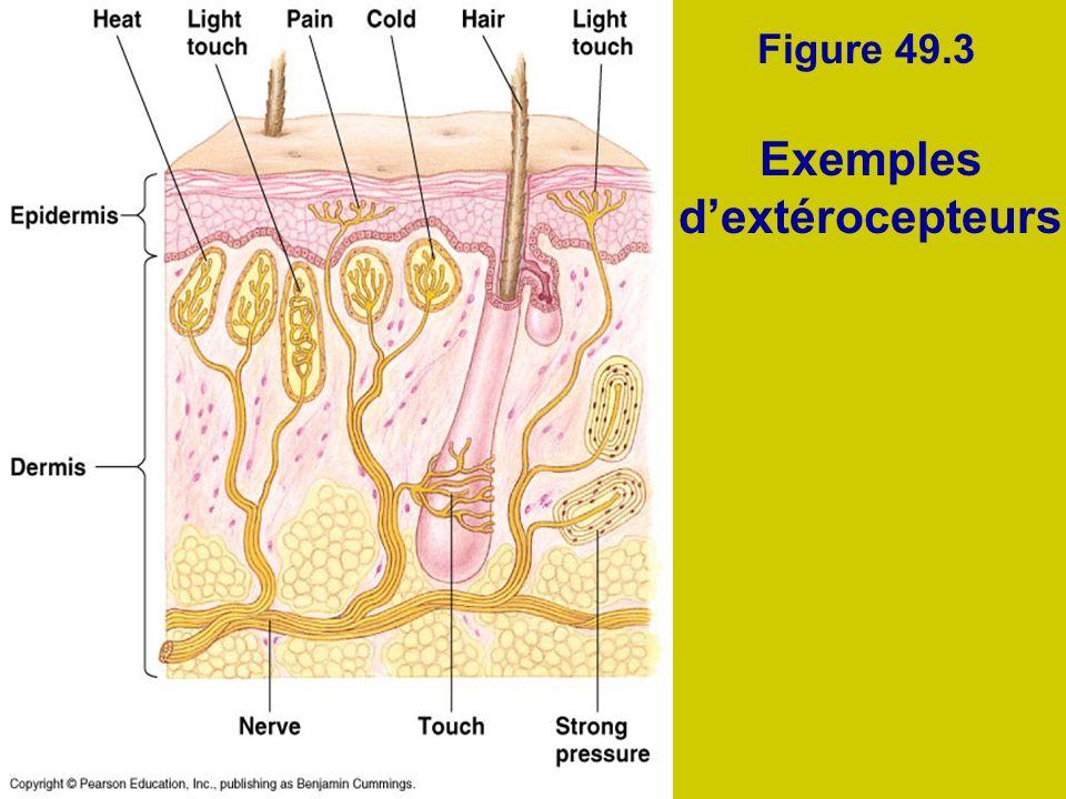 Exemples d'extérocepteurs