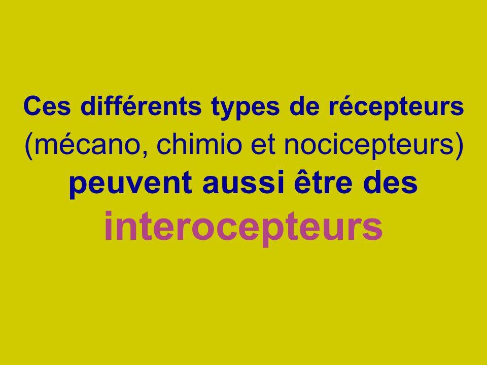 Ces différents types de récepteurs (mécano, chimio et nocicepteurs) peuvent aussi être des interocepteurs