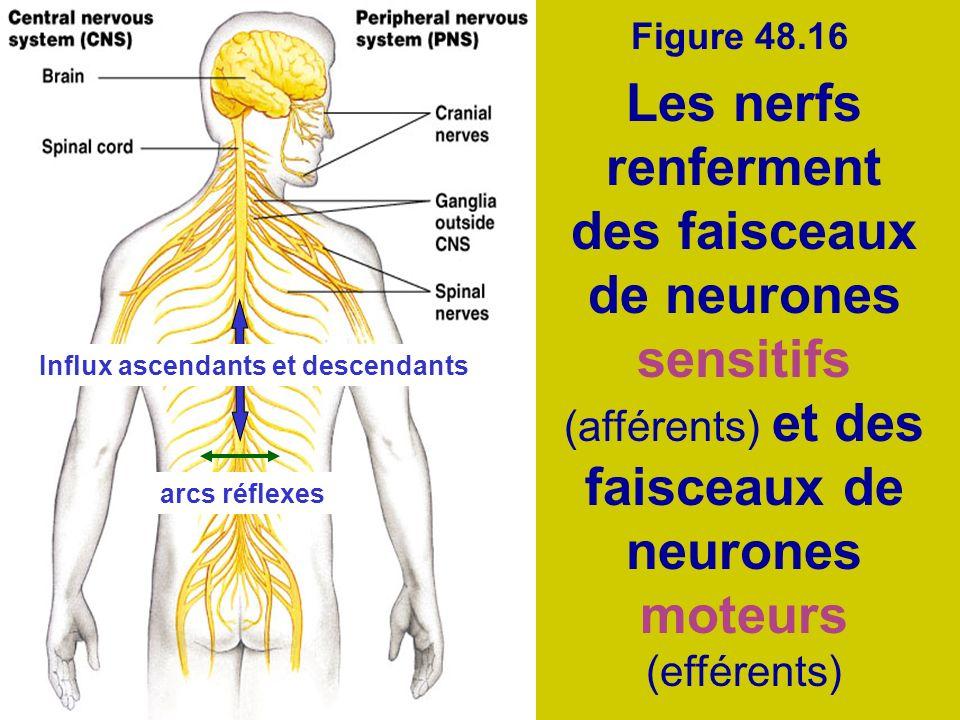 Figure 48.16 Les nerfs renferment des faisceaux de neurones sensitifs (afférents) et des faisceaux de neurones moteurs (efférents)