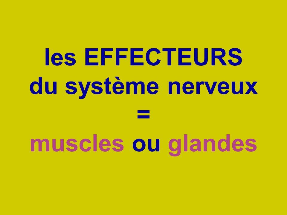 les EFFECTEURS du système nerveux = muscles ou glandes