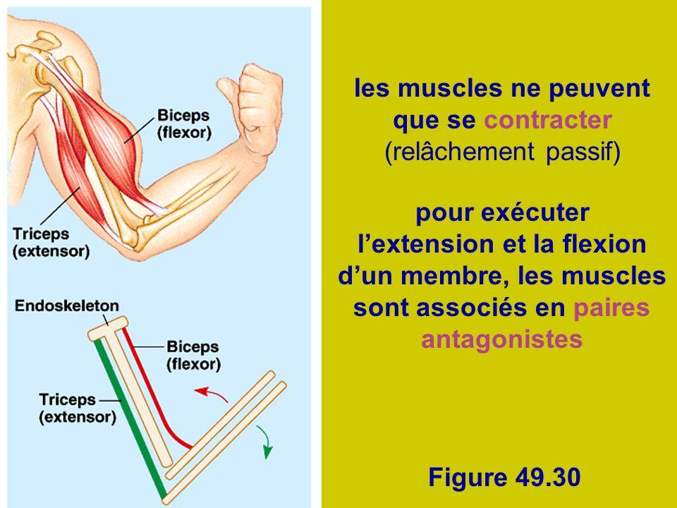 les muscles ne peuvent que se contracter (relâchement passif)