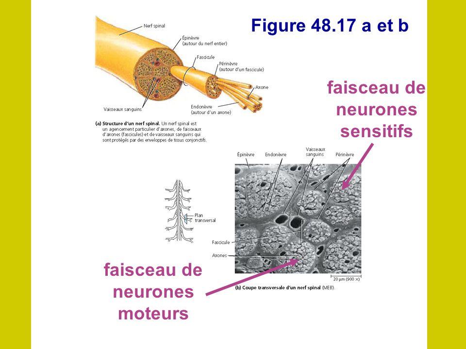 faisceau de neurones sensitifs faisceau de neurones moteurs