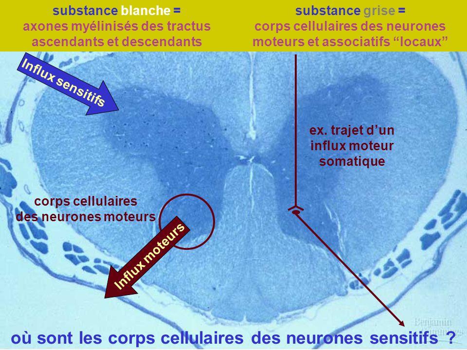 où sont les corps cellulaires des neurones sensitifs