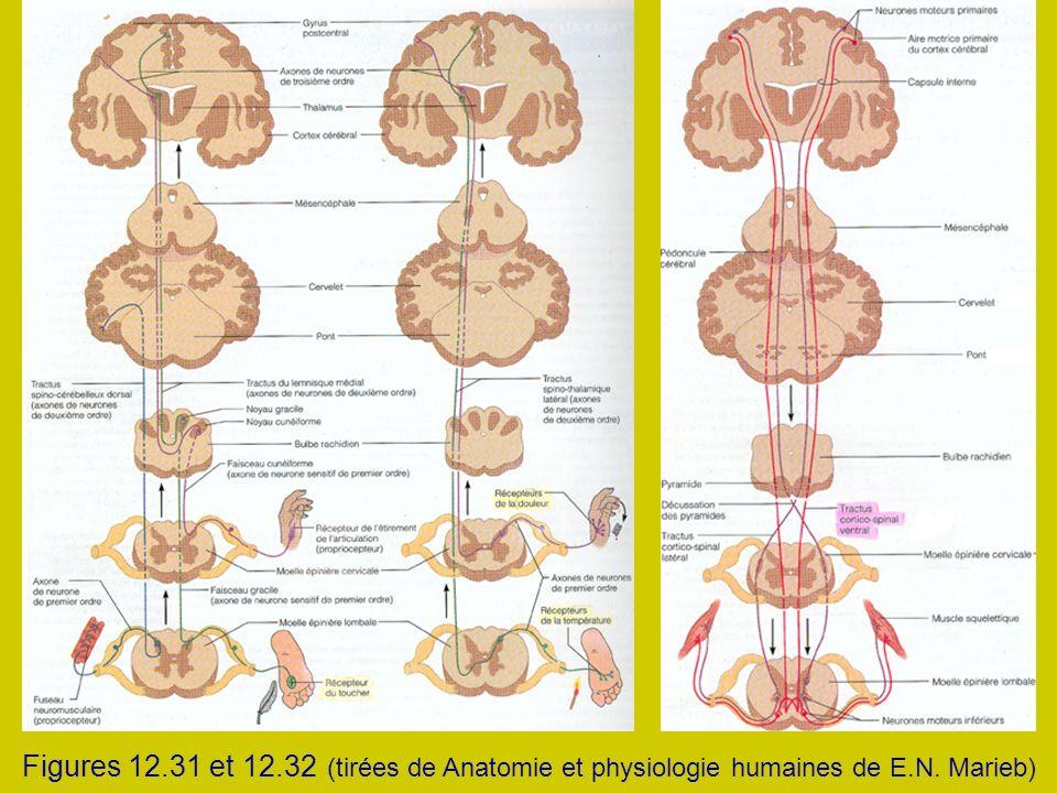 Figures 12.31 et 12.32 (tirées de Anatomie et physiologie humaines de E.N. Marieb)