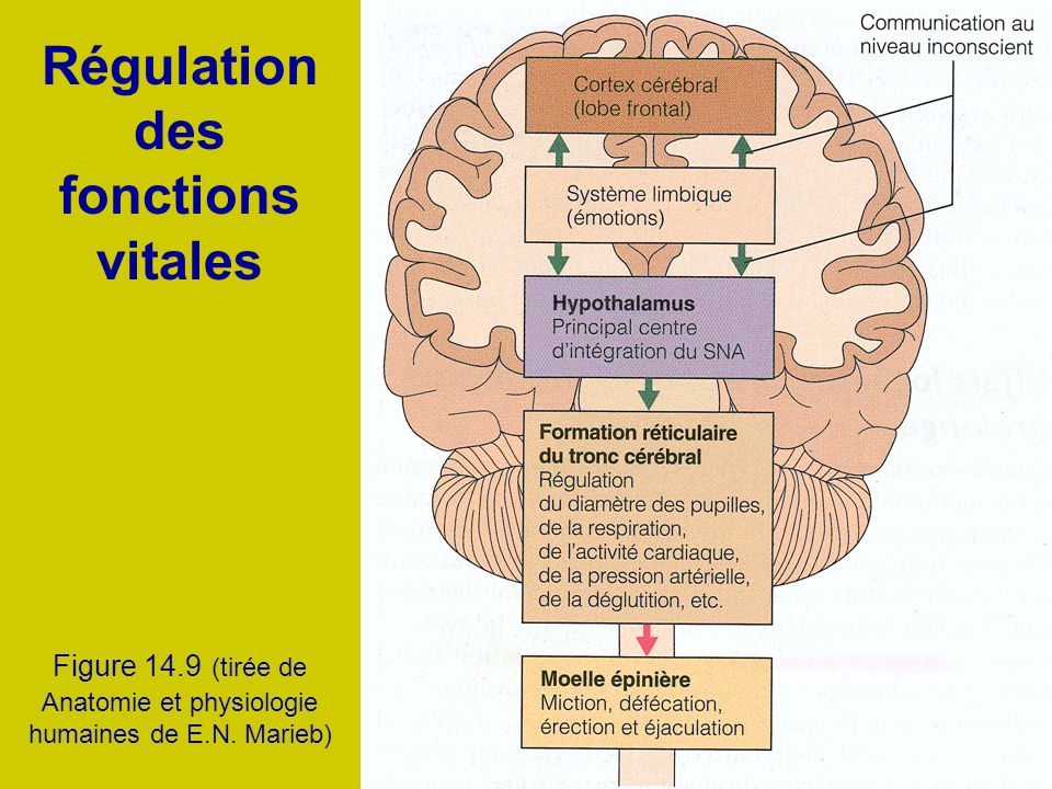 Régulation des fonctions vitales