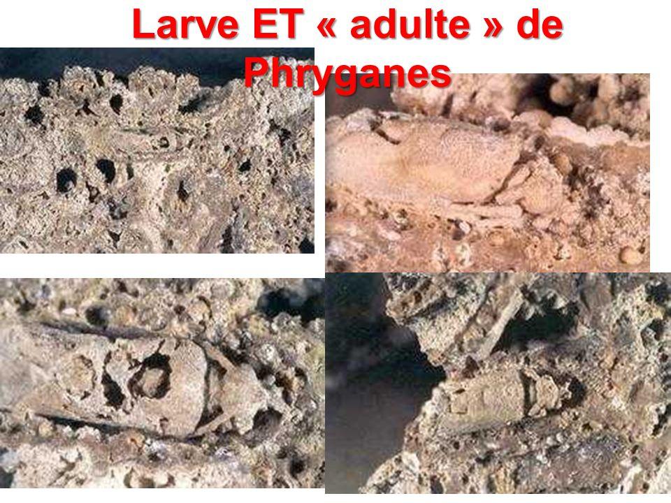 Larve ET « adulte » de Phryganes
