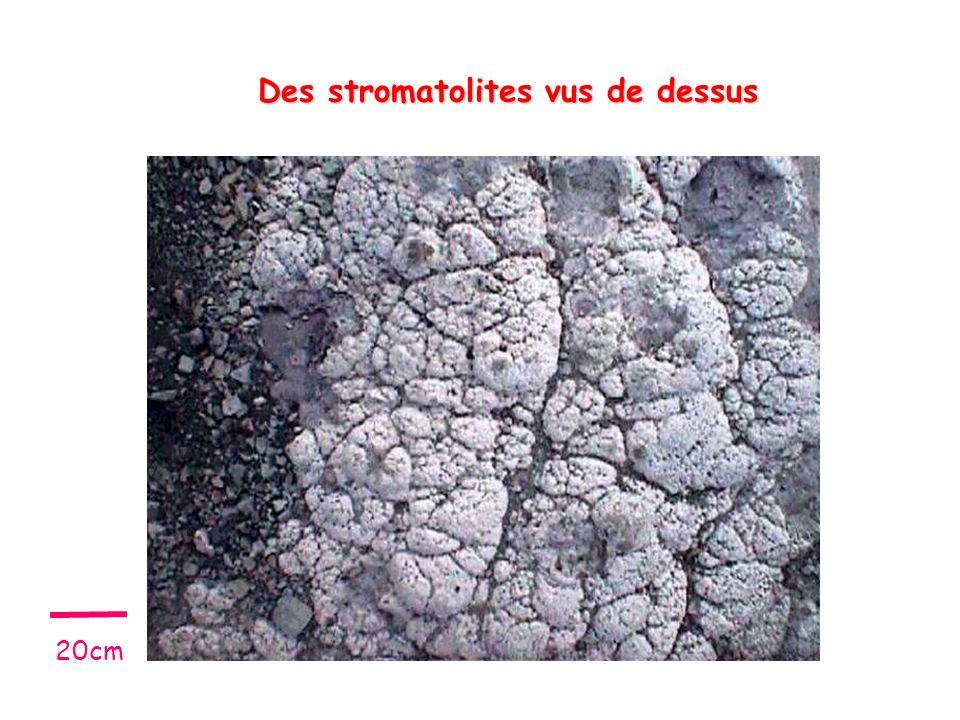 Des stromatolites vus de dessus