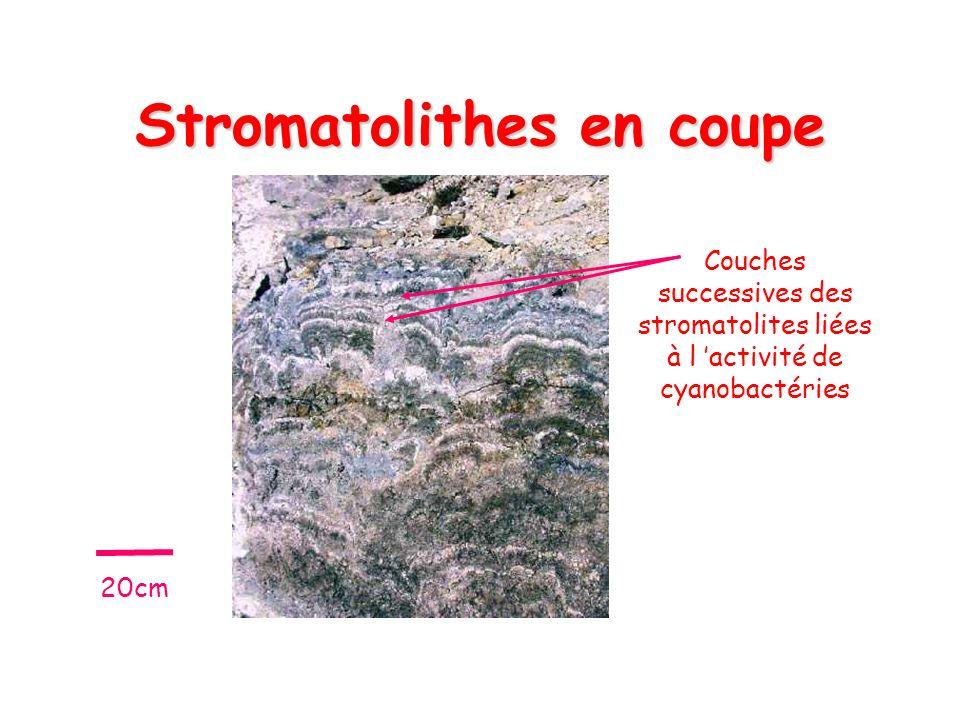 Stromatolithes en coupe
