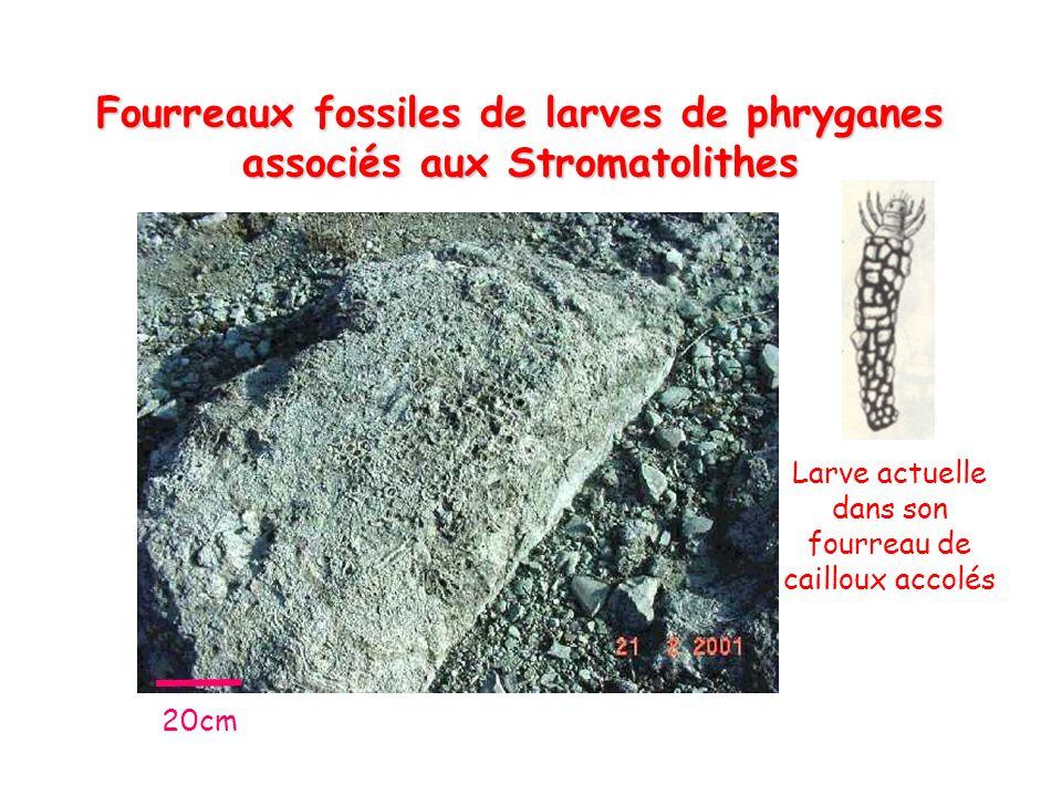 Fourreaux fossiles de larves de phryganes associés aux Stromatolithes