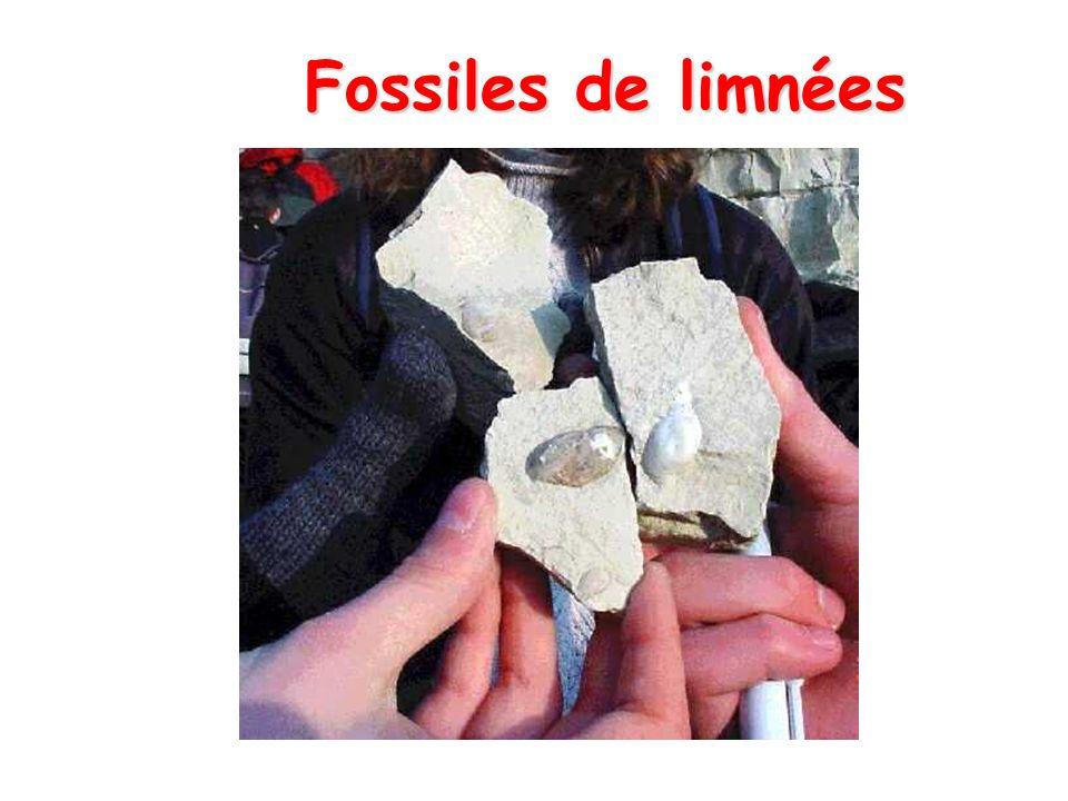 Fossiles de limnées