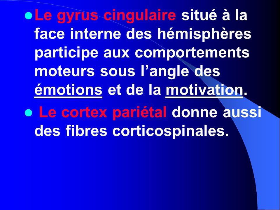 Le gyrus cingulaire situé à la face interne des hémisphères participe aux comportements moteurs sous l'angle des émotions et de la motivation.