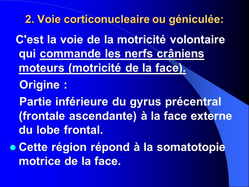 2. Voie corticonucleaire ou géniculée: