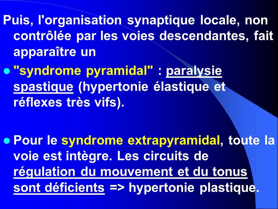 Puis, l organisation synaptique locale, non contrôlée par les voies descendantes, fait apparaître un
