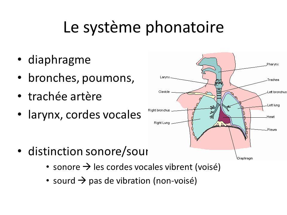 Le système phonatoire diaphragme bronches, poumons, trachée artère