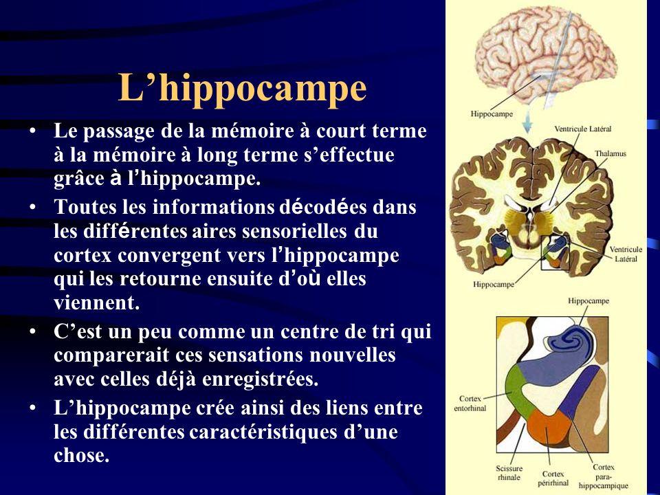 L'hippocampe Le passage de la mémoire à court terme à la mémoire à long terme s'effectue grâce à l'hippocampe.