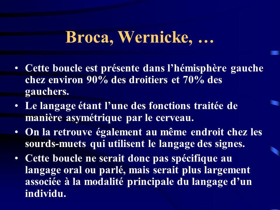 Broca, Wernicke, … Cette boucle est présente dans l'hémisphère gauche chez environ 90% des droitiers et 70% des gauchers.