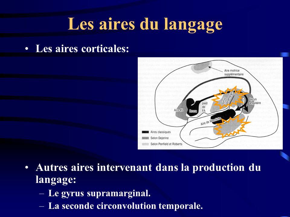 Les aires du langage Les aires corticales: