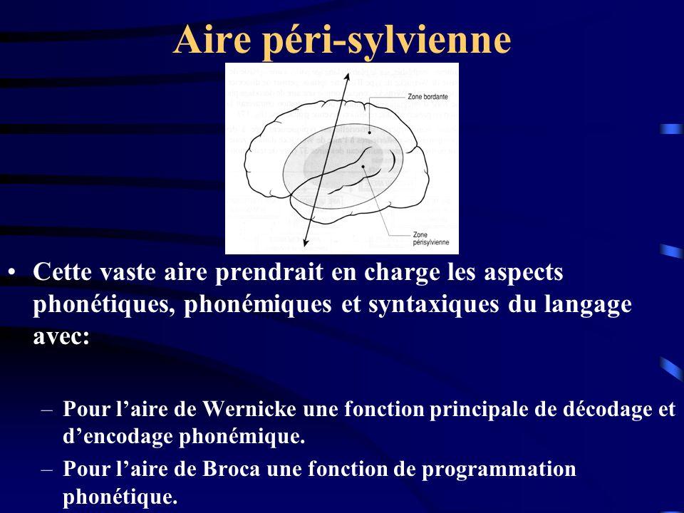 Aire péri-sylvienne Cette vaste aire prendrait en charge les aspects phonétiques, phonémiques et syntaxiques du langage avec: