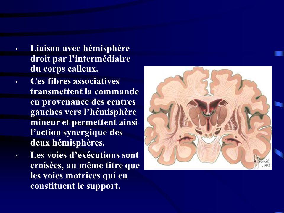 Liaison avec hémisphère droit par l'intermédiaire du corps calleux.