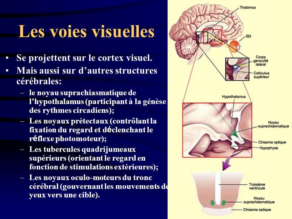 Les voies visuelles Se projettent sur le cortex visuel.