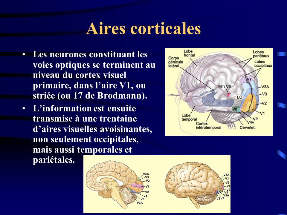Aires corticales