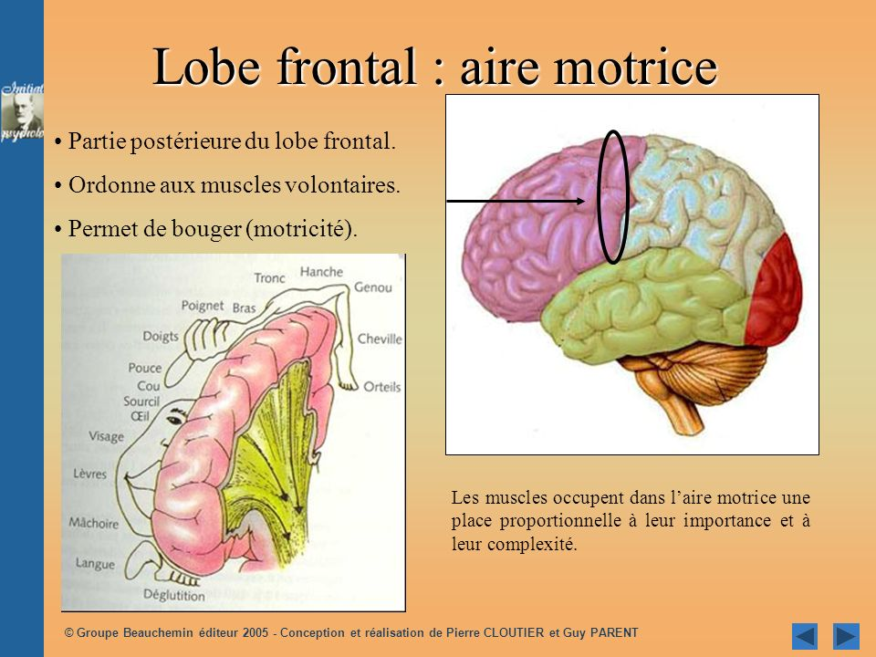 Lobe frontal : aire motrice